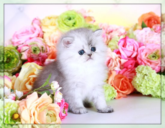 Silver Dust Teacup Persian Kitten