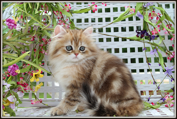 Fairy Dust Gold Teacup Persian Kitten