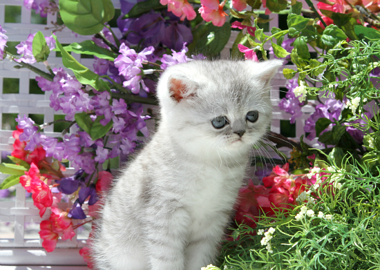 Shaded Silver Exotic Short Hair Kitten