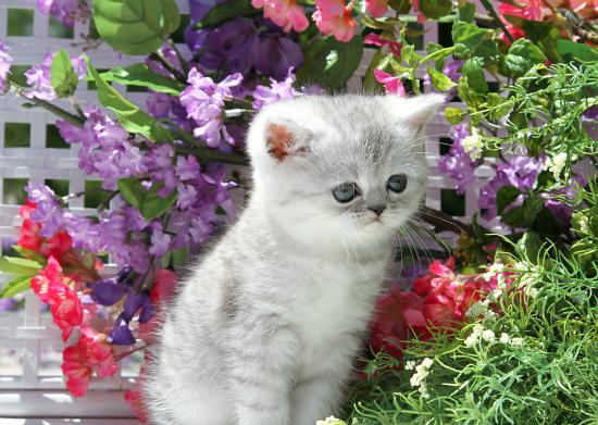 Exotic Shorthair Persian Kittens | Exotic Shorthair Persian