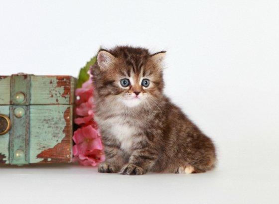 Cream Patched Golden Teacup Persian Kitten