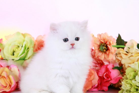 Ivory Chinchilla Persian Kitten