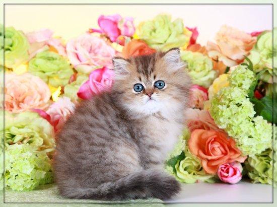 Golden Chinchilla Teacup Persian Kitten