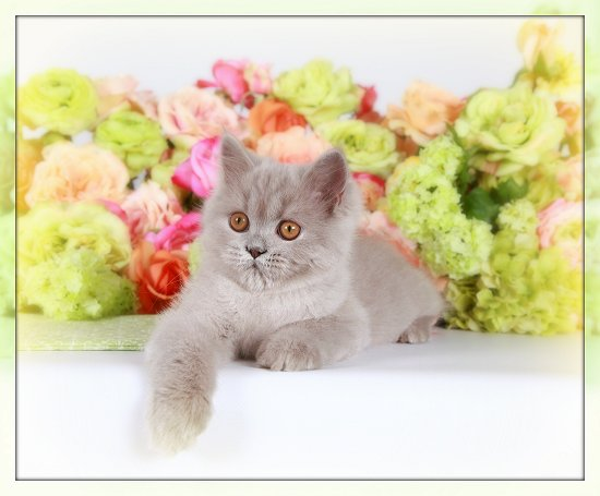 Lilac Persian Kitten - Copyright Doll Face Persian Kittens