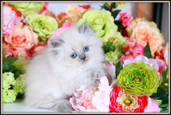 Blue Point Himalayan Kitten