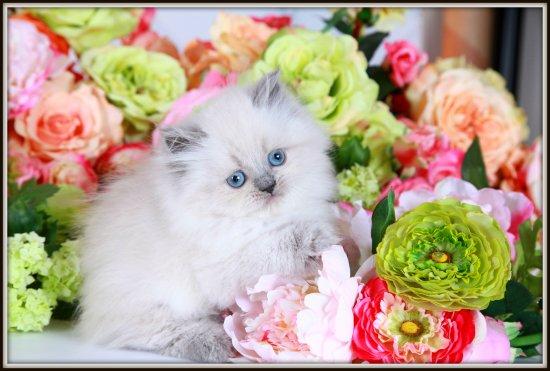 Blue Point Himalayan Kitten