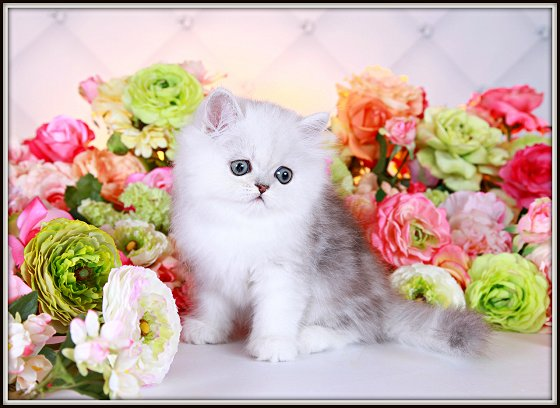 Ultra Light Shaded Silver Teacup Persian Kitten
