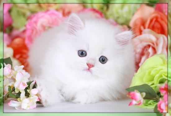 Cashmere White Persian Kitten