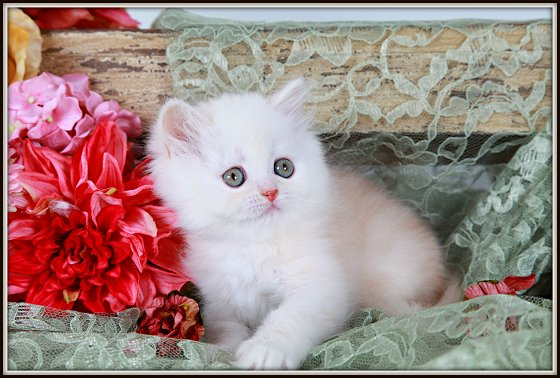 Strawberry Blonde Exotic Shorthair Persian Kitten