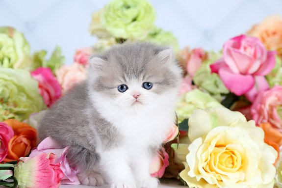 Blue Chinchilla Golden and White Persian Kitten