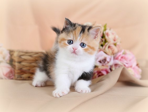 Calico Exotic Short Hair Kitten