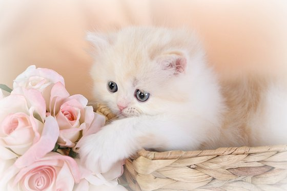 Doll Face Persian Kittens Therapy Pets - Cat- Kittens