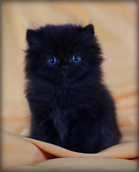 Black Teacup Persian Kitten