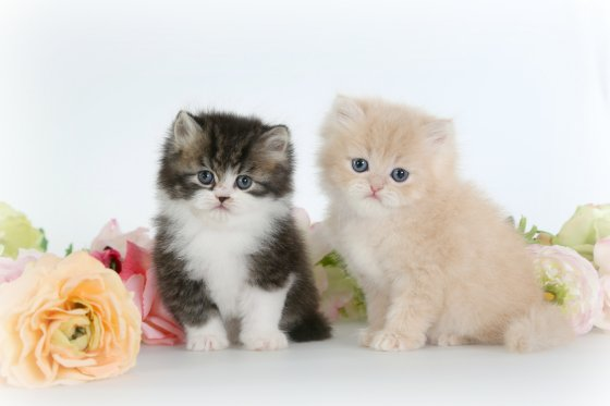 Teacup Persian Kittens