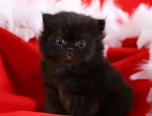 Black Persian Cat For Sale