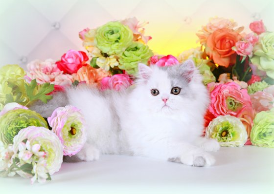 Shaded Silver and White Persian Kitten