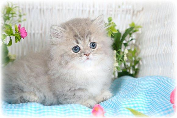 Chinchilla Blue Golden Teacup Rug Hugger Kitten