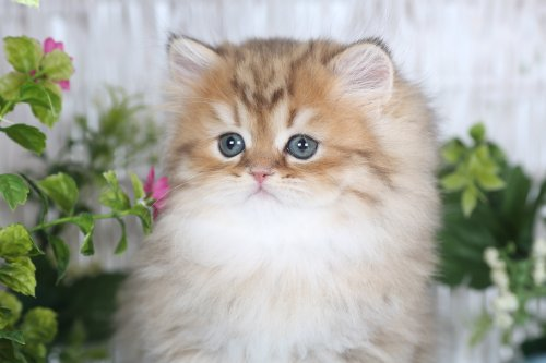 Golden Chinchilla Teacup Persian Kitten