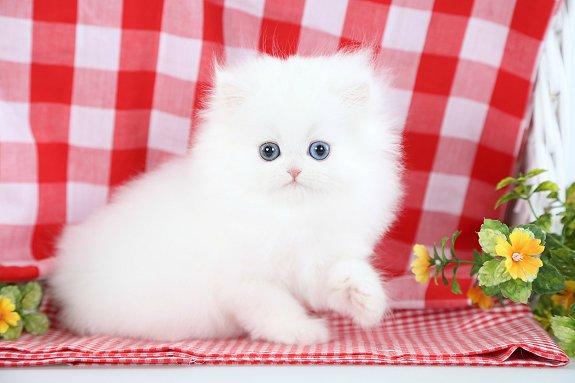 Solid White Persian Kitten