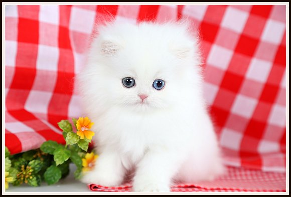 Cashmere White Teacup Persian Kittendesigner Persian Kittens For Sale Luxury Kittens 660 292 2222 660 292 1126 Shipping Available