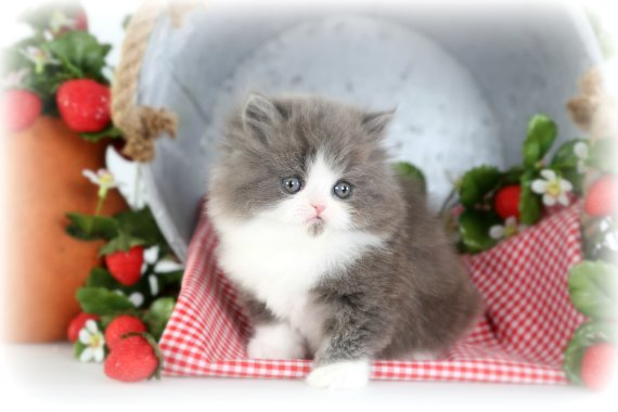 Blue & White Persian Kitten
