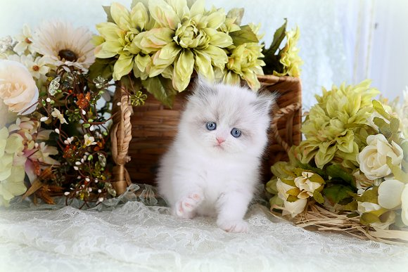 Teacup Himalayan Kitten