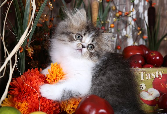 Shaded Golden & White Persian Kitten