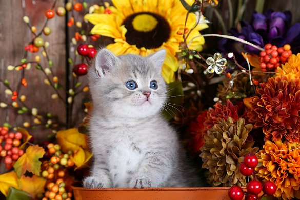 Exotic Short Hair Kitten - Doll Face Persian Kittens