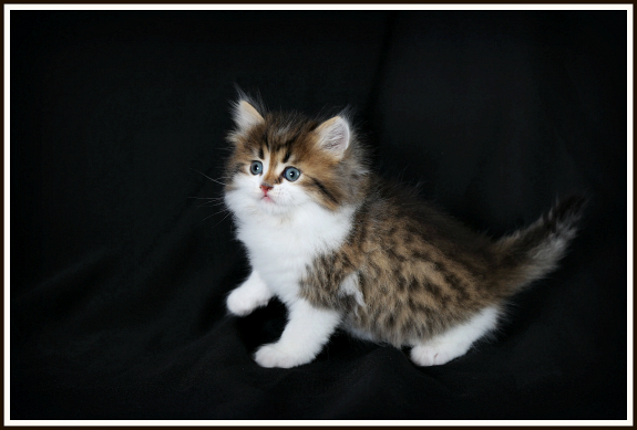 Shaded Golden and White Persian Kitten