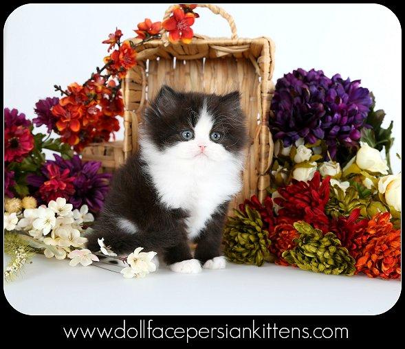 Tuxedo Persian Kitten