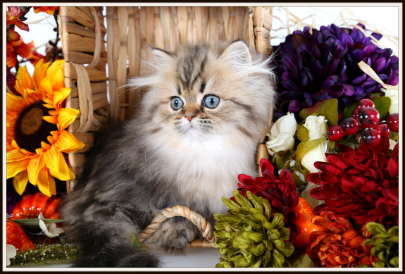 Rug Hugger Persian Kitten for Sale