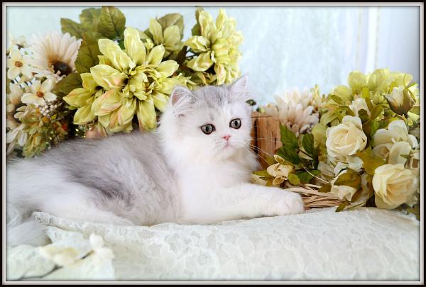 Silver Chinchilla & White Teacup Kitten