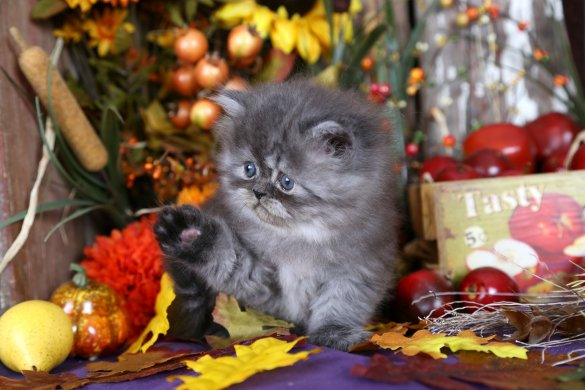Black Smoke Persian Kitten for Sale