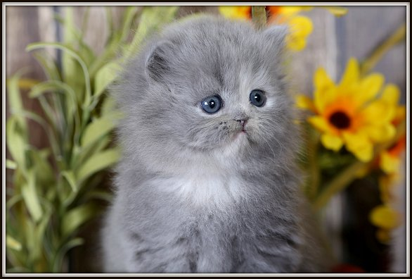 Blue Cream Teacup Persian Kitten
