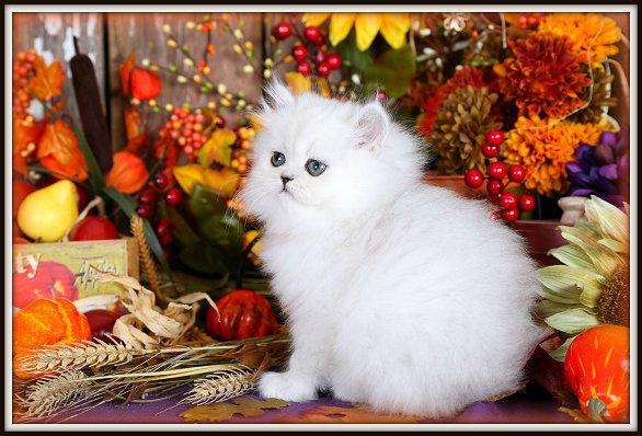 Silver Chinchilla Teacup Kitten