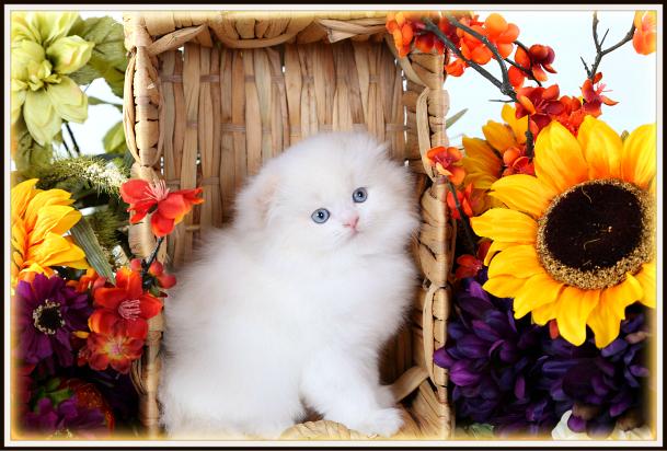 Flame Point Persian Fold Kitten