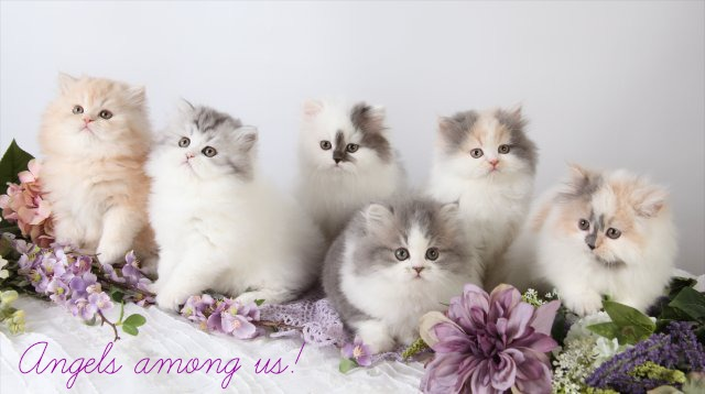 TRUE Petite Toy Persian Kittens