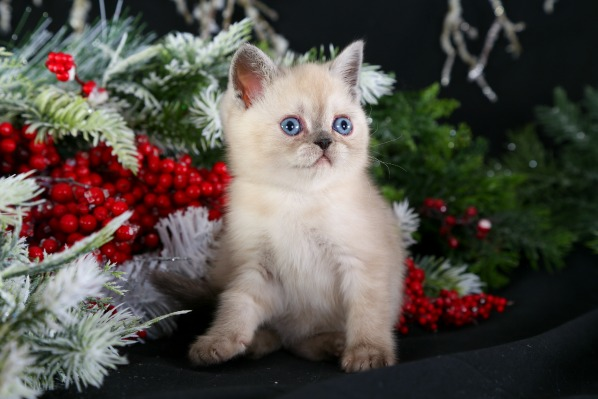 Exotic Short Hair Himalayan Kitten