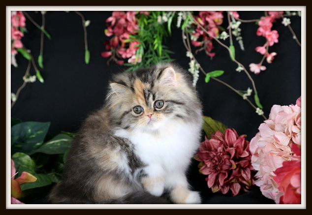 Tabby Calico Persian