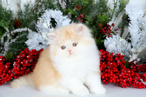 Cream & White Bi-Color Teacup Persian Kitten For SalePre-Loved ...