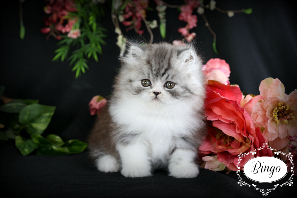 Black Smoke & White Teacup Persian Kitten