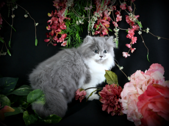 Blue & White Teacup Persian Kitten