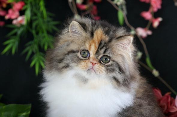 Calico Tabby Persian Kitten
