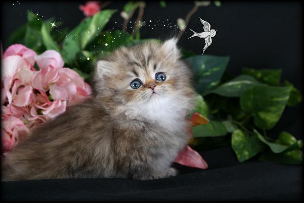 Teacup Rug Hugger Kitten