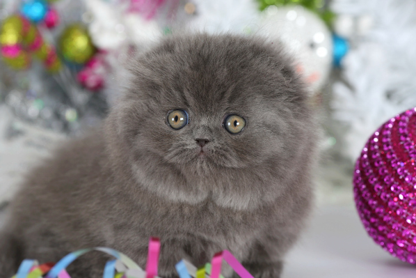 Blue Kittens For Sale : Blue persian kittens photo gallerypre loved persian kittens for