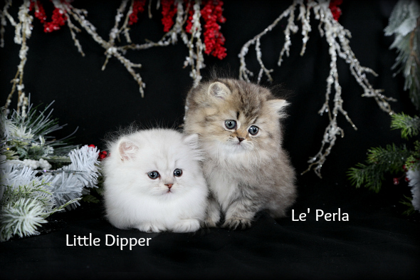Silver Chinchilla Teacup Rug Hugger Kitten