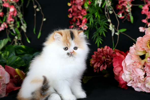 Calico Kitten - Doll Face Persian Kittens