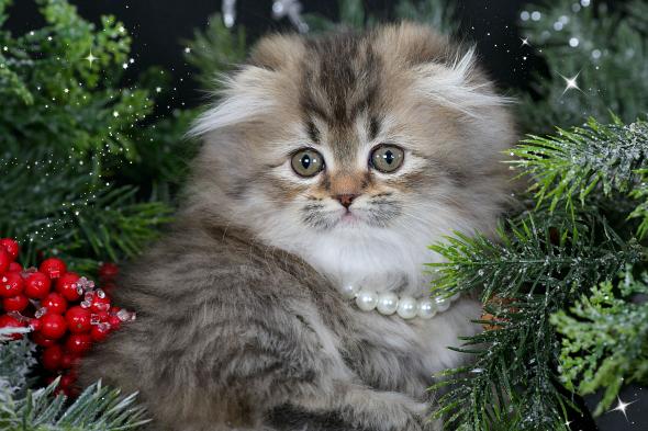 Floppy Eared Teacup Rug Hugger Kitten