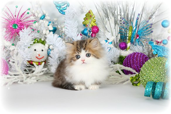 Teacup Rug Hugger Kitten - Doll Face Persian Kittens