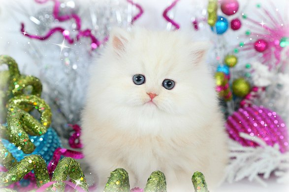 Vanilla Persian Kitten